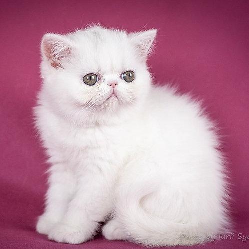 105 Dalida  Exotic  female kitten