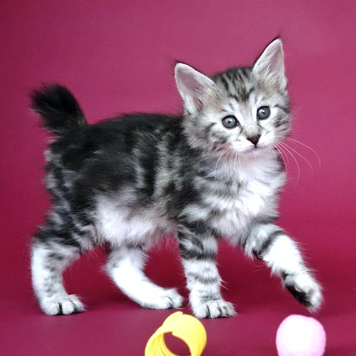 514 Vanessa  Kurilian Bobtail female kitten