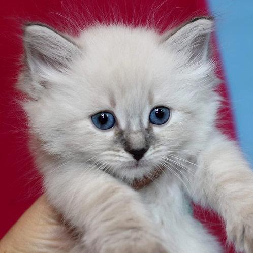 122 Tigran    Siberian male kitten