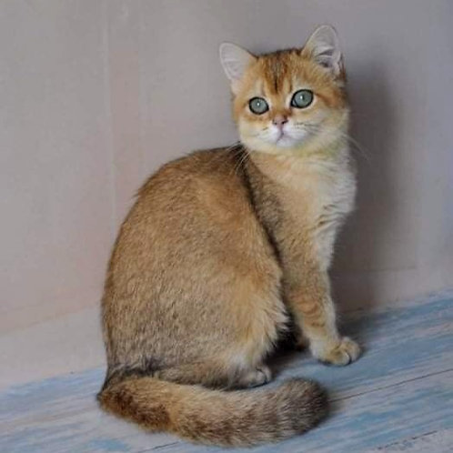 1072 Yukka  British shorthair female kitten