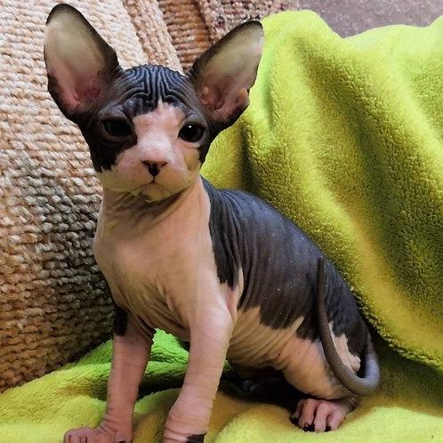 439 Michael  male Sphinx kitten