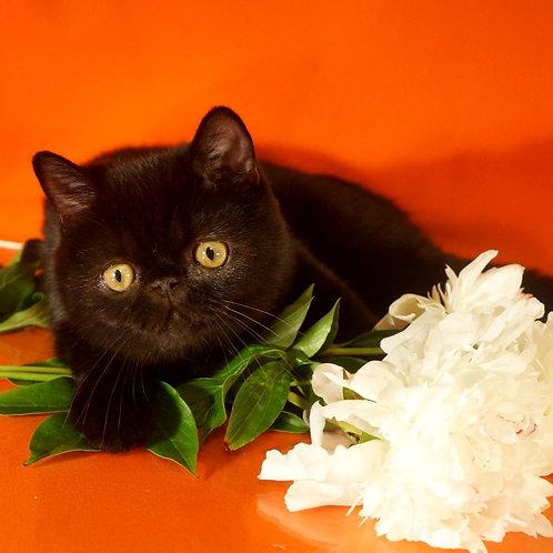 79 Elvis   Exotic  male kitten