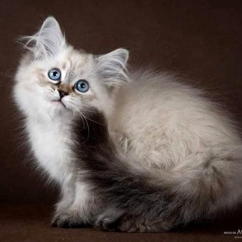 187 Brusnichka    Siberian female kitten
