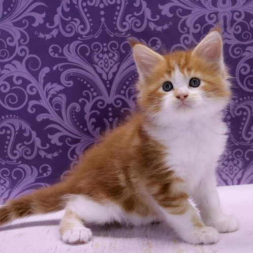 Biscuit Maine Coon male kitten