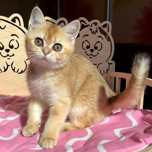 931 Iriska  Scottish straight shorthair female kitten