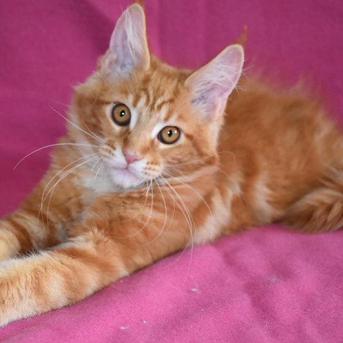 282 Garry  Maine Coon male kitten