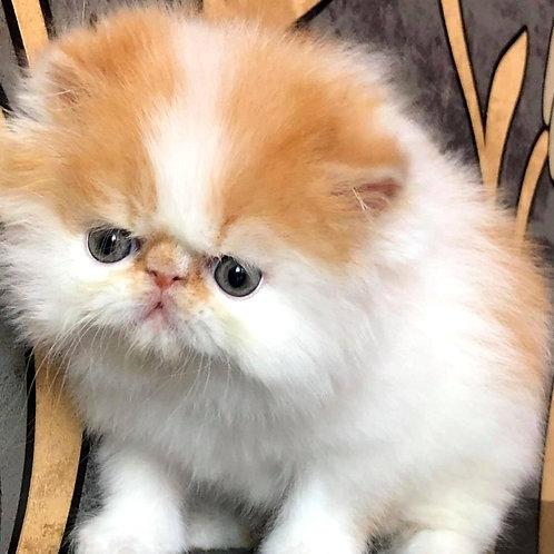 126 Klipsa   Persian  female kitten