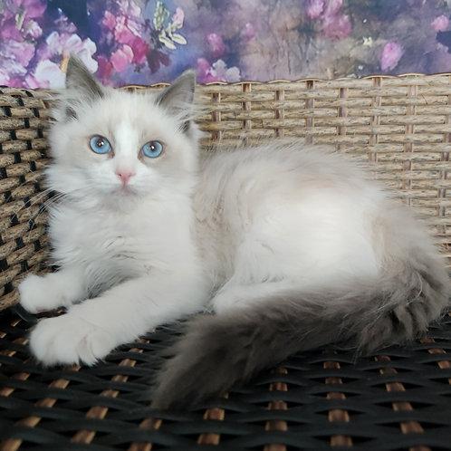 86 Demi    Ragdoll male kitten