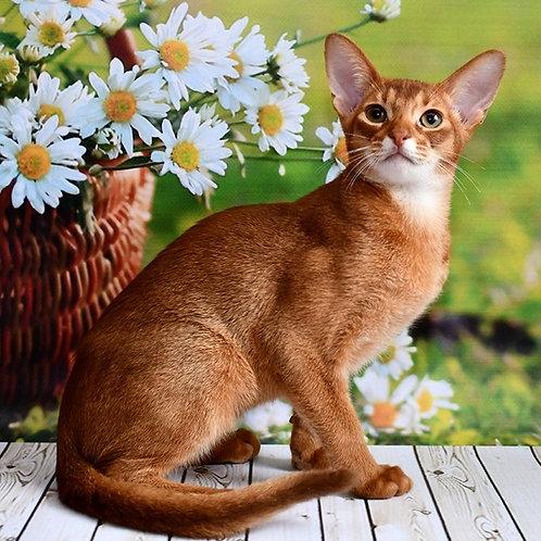 190 Nikolas   purebred Abyssinian male kitten