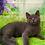 Thumbnail: 902 Figaro   Scottish straight shorthair male kitten