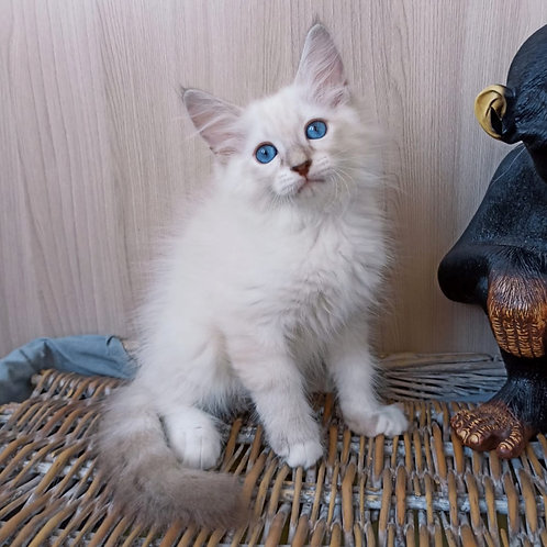 288 Rostislav     Siberian male kitten