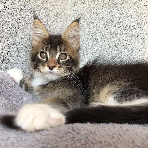 879 Opium  Maine Coon male kitten