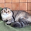 Thumbnail: 1010 Xanna  Scottish fold longhair female kitten