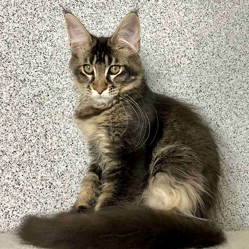 639 Shanti  Maine Coon female kitten