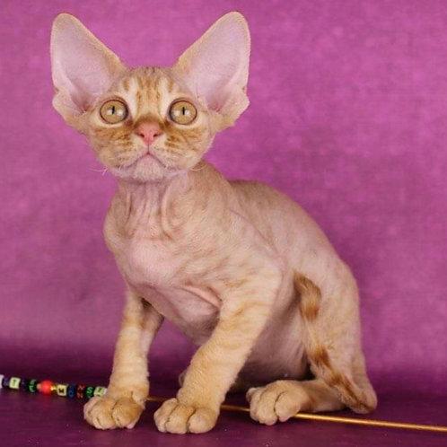 Marcel male kitten Devon Rex