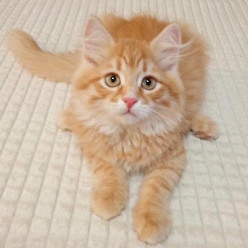 190 Batyr     Siberian male kitten