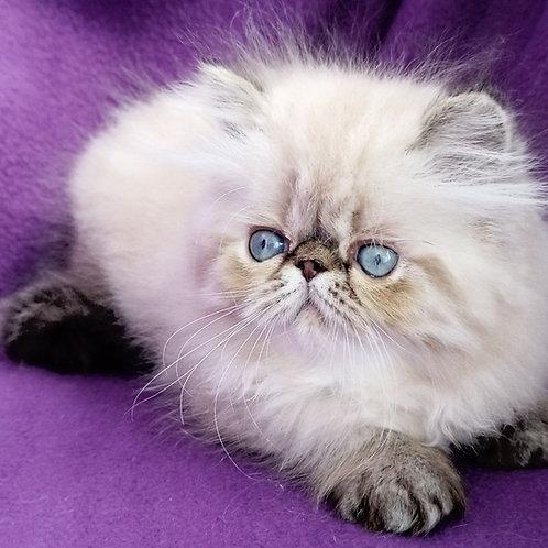 74 Parker   Persian  male kitten