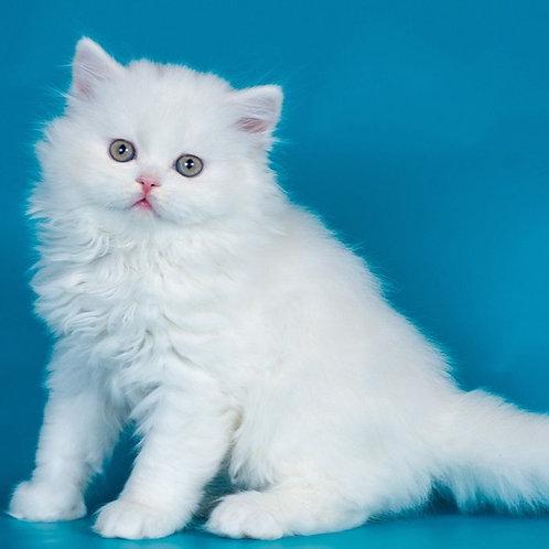 Winter Cherry Scottish straight longhair female kitten