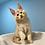 Thumbnail: 580 Cailin  Maine Coon male kitten