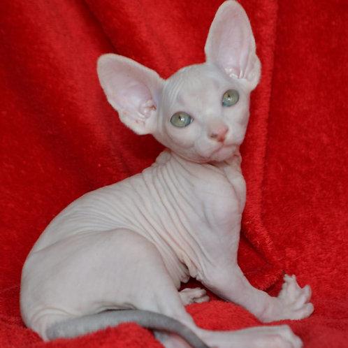 180 Milky way  male Sphinx kitten