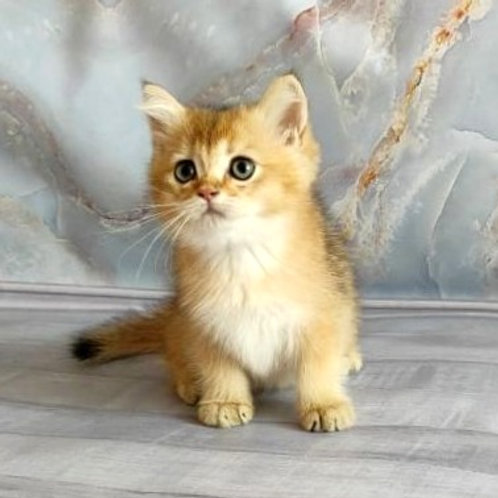 758 X-man  British shorthair male kitten