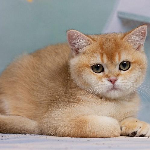 Star Dust British shorthair male kitten