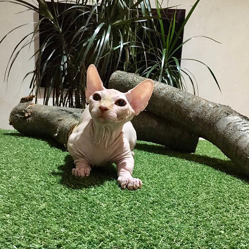 Jumanji male Bambino kitten