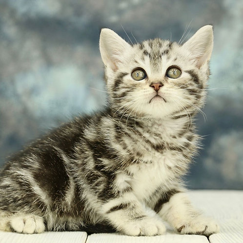 1139 Onyx  Scottish straight shorthair male kitten