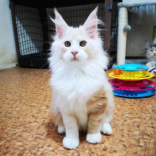 613 Hercules Maine Coon male kitten