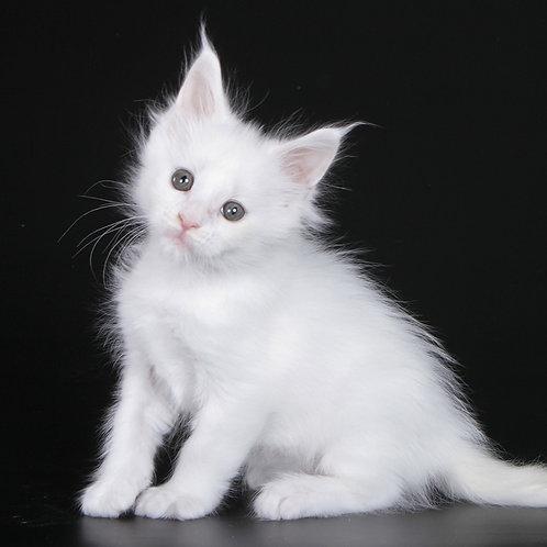 776 Pitaya  Maine Coon female kitten