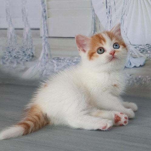 Bohemia Scottish straight shorthair female kitten