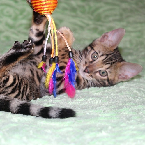 158 Arnold  purebred Bengal male kitten