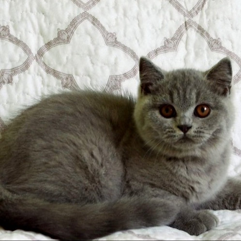 495 Domenick  British shorthair male kitten