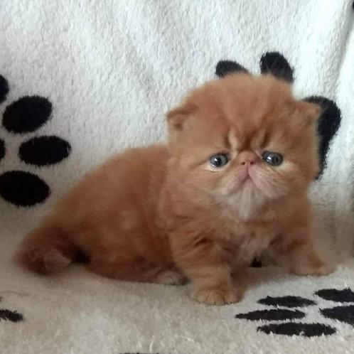 Asher Persian male kitten