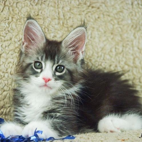 560 Jetta Maine Coon female kitten