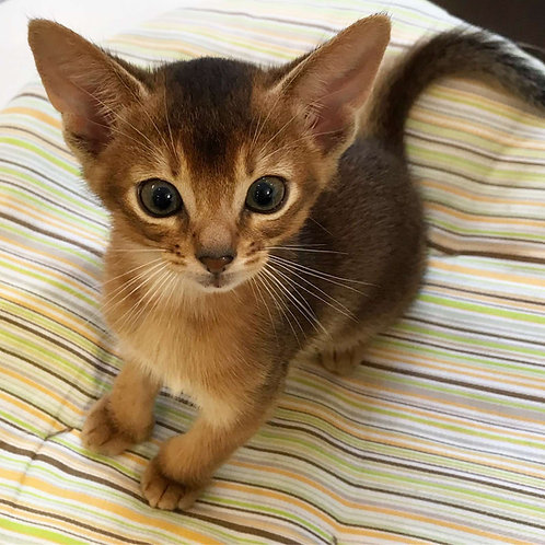 Archibald purebred Abyssinian male kitten
