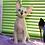 Thumbnail: 482 Becky female Sphynx  kitten