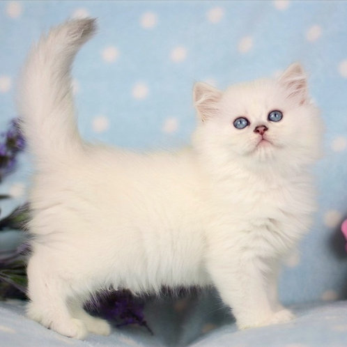 421 Philipp  British longhair male kitten