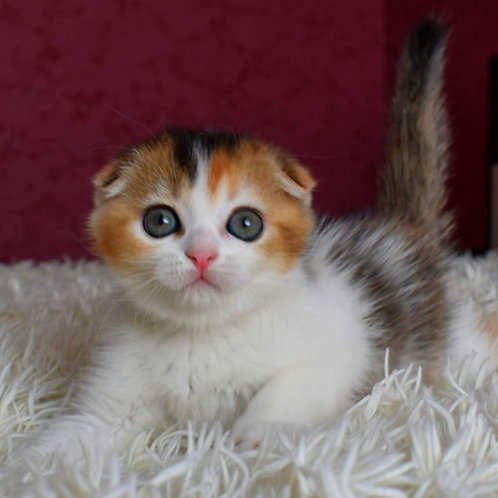 907 Lilu   Scottish fold shorthair female kitten