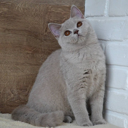 344 Gloriya     British shorthair female kitten