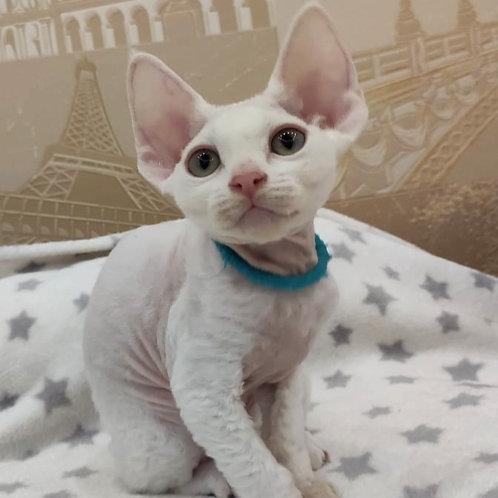 227 Henry  male kitten Devon Rex