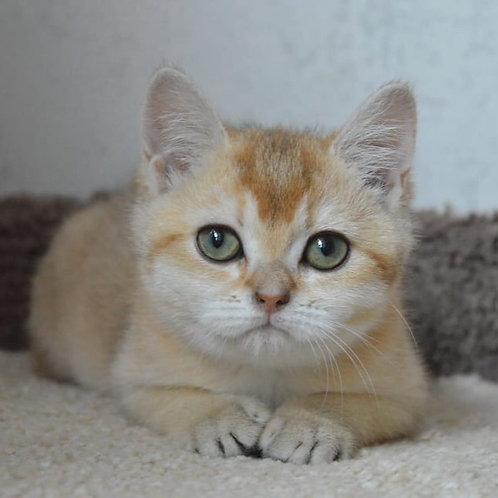Roxy  British shorthair female kitten