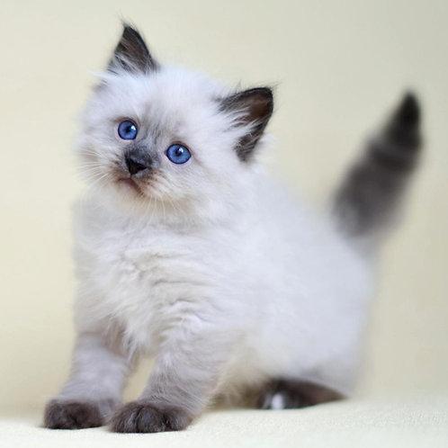 274 Favorite   Siberian male kitten