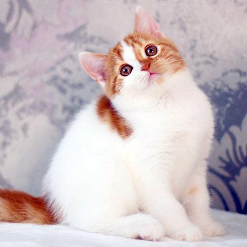 986 Casper   Scottish straight shorthair male kitten