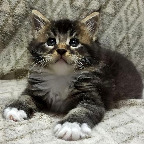 699 Apollon  Maine Coon male kitten