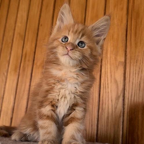 383 Garfield  Maine Coon male kitten