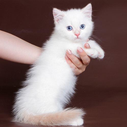 816 Tanner    Munchkin shorthair male kitten