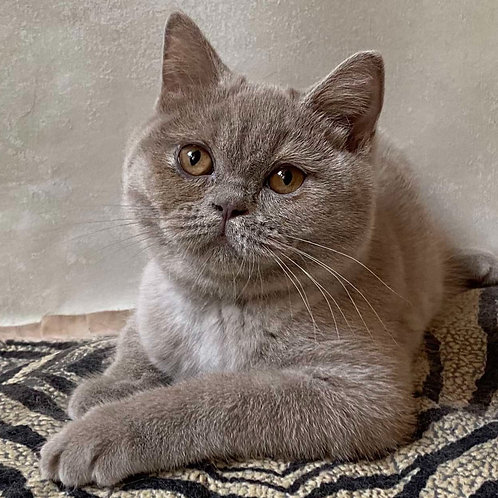 975 Yasmine  British shorthair female kitten