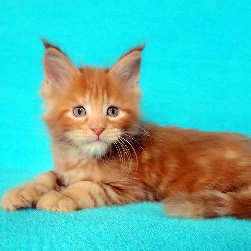 Filip Maine Coon male kitten