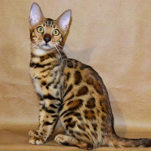 248 Ophelia  purebred Bengal female kitten